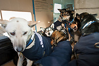 Eleven dogs from Laura Daugereau's team, who scratched in Grayling, arrive in the Penair Caravan in Unalakleet during Iditarod 2009