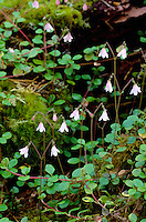 TWINFLOWER Linnaea borealis (Caprifoliaceae) Height to 7cm. Charming, delicate, creeping and evergreen perennial. Sometimes mat-forming. Grows on the woodland floor in mature and undisturbed Scottish pine forests. FLOWERS are 5-9mm long, the corolla pink and bell-shaped; borne in pairs on upright, slender stalks (Jun-Aug). FRUITS are dry and papery. LEAVES are oval to rounded and borne in pairs on wiry stems. STATUS-Rare and restricted to a few locations in NE Scotland.