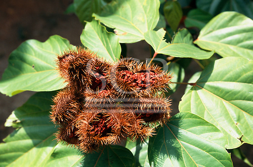 La Lope, Gabon. Urucum - Bixa orellana; fully ripe brown spiny pods with seeds visible.