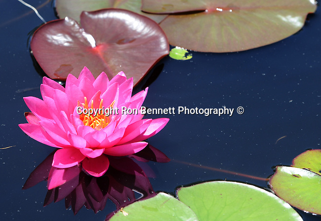 Bright Pink water lilies pool Nympheas flowering aquatic plant, Dicotyledoneae, Archichlamydeae, flowering plants bear petals separately, Ranales, petals on the stem, tropical water lilies, Lotus, Nelumbo, Water lily family, Hardies,