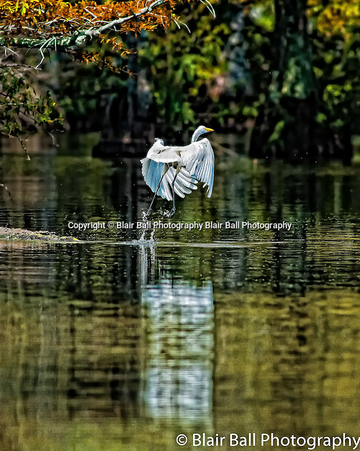Egret taking off Reel Foot Lake