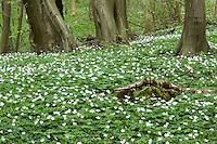 Bos anemoon (Anemone nemorosa). .