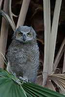 Young Great Horned Owl rests in a Palm Tree after leavening the nest.