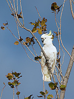 Sulfur-crested cockatoos are quite common in continental Australia, but are only recently starting to populate Tasmania in larger numbers.