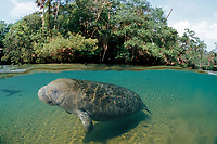 Florida manatee or West Indian manatee calf Trichechus manatus latirostris Homosassa Springs, Florida (c)