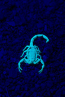Bark Scorpion, Centruroides excilicauda, fluorescing under UV light; Sonoran Desert, Arizona