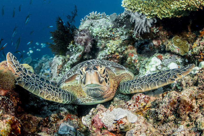 Green turtle in Nabucco / Indonesia