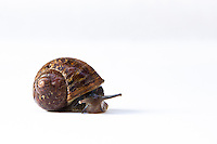 A common brown garden snail in its spiral shell with eye-tentacles extended on a white background.