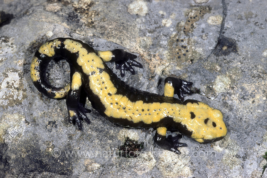 Aurora-Alpensalamander, Alpen-Salamander, Alpensalamander, Salamander, Salamandra atra, Salamandra atra aurorae, Salamander, Salamandra atra, European Alpine salamander, salamandre noire, salamandre alpestre, salamandre de montagne