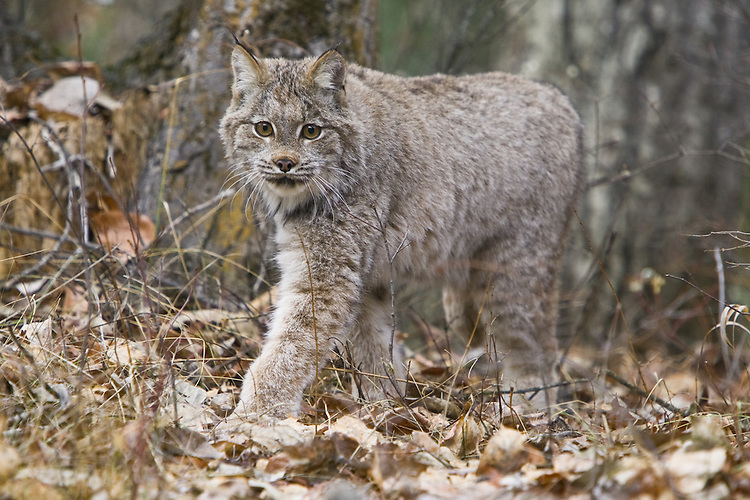 Canada Lynx walking through some leaf litter - CA