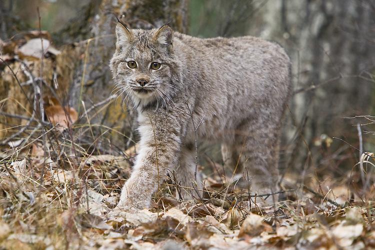 Canada Lynx walking through some leaf litter - CA
