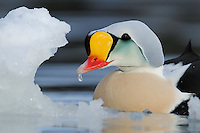 Male King Eider, Somateria spectabilis, Varanger, Norway. Eating ice