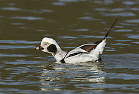 Long-tailed Duck Clangula hyemalis L 40-47cm.<br /> Elegant diving duck, at home in roughest of seas. Dives for bottom-dwelling invertebrates. In flight, has dark wings and mainly white underparts. Sexes are dissimilar in other respects. Adult male, in winter and spring looks mainly black, grey and white with buffish patch around eye and pink band on bill. In summer and eclipse (both seldom seen here) has mainly brown and black plumage, with white on belly and flanks and pale buff eye patch; bill is dark. Adult female, in winter is mainly brown and white; face is white except for dark cheek patch and crown. In summer, similar but face is mainly brown, with pale eye patch. Juvenile is similar to adult female in summer. Voice Male utters nasal ow–owlee. Status Mainly a winter visitor, commonest in N. Favours shallow coastal seas.
