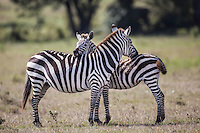 Zebras bonding between an adult and juvenile, probably her calf, they nuzzle while still keeping alert in the Masai Mara Reserve, Kenya, Africa (photo by Wildlife Photographer Matt Considine)