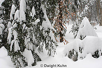 MA19-526z  Snowshoe Hare camouflaged in snow, Lepus americanus