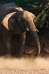 Namibia;  Namib Desert, Skeleton Coast, Huab River, desert elephant (Loxodonta africana) sliding down river bank