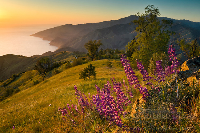 Spring Lupine wildflowers and green hills at sunset, Ventana Wilderness, Los Padres National Forest, Big Sur coast, California Spring Lupine wildflowers and green hills at sunset, Ventana Wilderness, Los Padres National Forest, Big Sur coast, California