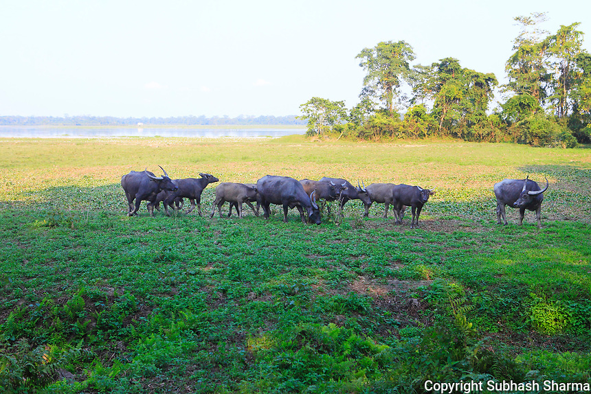 Kaziranga National Park , Assam :  A Walk with Wild Asian Elephants