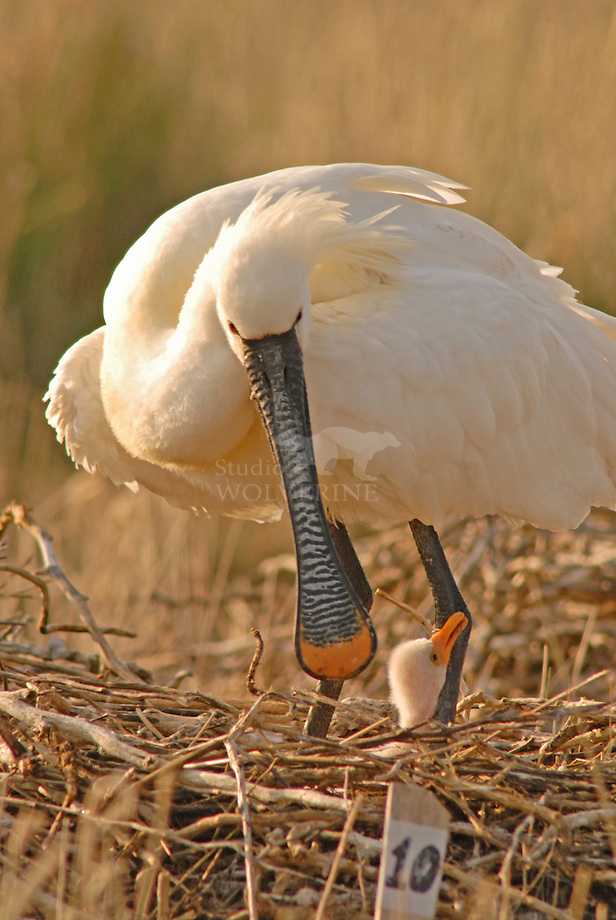 Lepelaar, op nest in kolonie / Eurasian spoonbill at nest in colony