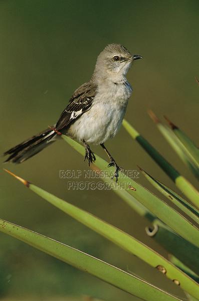 Northern Mockingbird, Mimus polyglottos, adult, Starr County, Rio Grande Valley, Texas, USA, March 2002