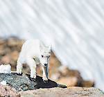 Mountain goats can often be seen on Beartooth Highway outside the Northeast Gate to Yellowstone National Park.