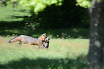 A Grey Fox quickly moves her kit to a new den.