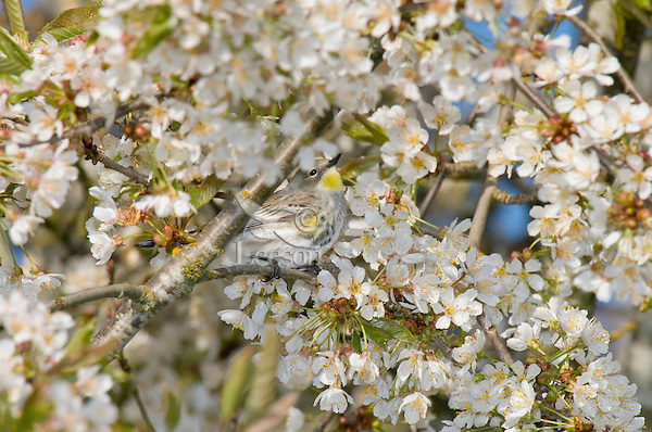 Female Yellow-rumped Warbler (Dendroica coronata) in cherry tree.  Pacific NW, April. (This is sometimes referred to as an Audubon's Warbler).