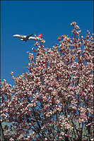 A passenger jet over magnolia blossoms near JFK airport.