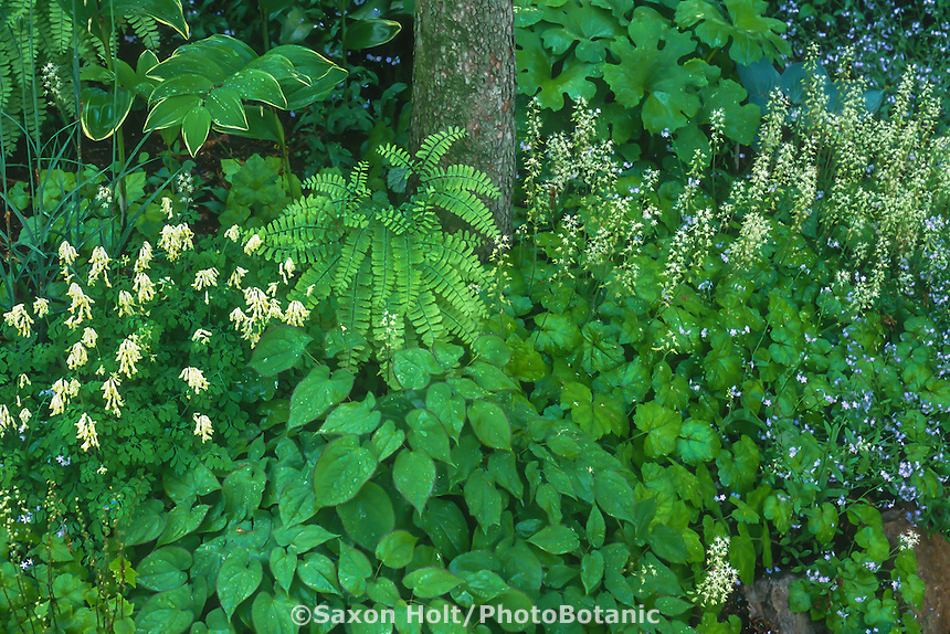 Mixed perennial groundcovers with Epimedium (Barrenwort), Dicentra, Tiarella( Foamflower) and Ferns in shade garden under tree