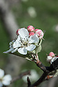 """Blossom of Pear 'Forelle', mid March. Also known as 'Truitee', 'Forellenbirne', Trout Pear' and 'Corail'. """"The origin of 'Forelle' is uncertain, probably Northern Saxony, Germany, and known since 1670. Named because of its prominent lenticel dots resembling the markings of a trout (Forelle in German)."""" ('Pears' by Jim Arbury and Sally Pinhey)"""