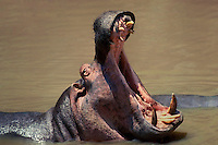 645505006 a wild hippopotamus hippopotamus amphibius opens its jaws in a threat posture while feeding in the mara river in the masai mara reserve in kenya east africa
