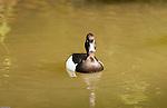 birds, duck, Badenweiler, Germany, Badenweiler, Germany