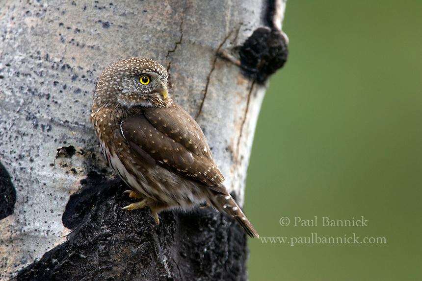 A Northern Pygmy-Owl, Glaucidium gnoma, perches on an aspen bole while hunting in Yakima County, Washington.