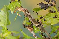 Großes Eichenkarmin, Grosses Eichenkarmin, Großer Eichenkarmin, Raupe frisst an Eiche, Catocala sponsa, dark crimson underwing, caterpillar, la Fiancée, Eulenfalter, Noctuidae, noctuid moths, noctuid moth