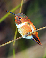 Adult male rufous hummingbird. Bird was photographed on April 13,2013.