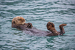 Lazy otter drifts off to sleep