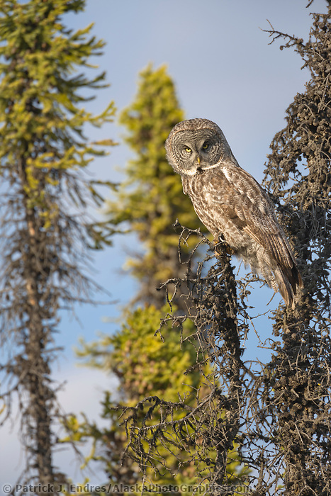 Great Gray owl in black spruce trees, southcentral, Alaska.