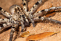 Wolf spider (family Lycosidae) hunting at night on the forest floor, dry deciduous forest, Kirindy Forest. Western Madagascar.