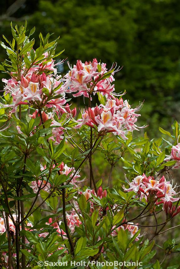 Rhododendron occidentale,  western azalea flowering in Menzies Garden of California native plants; San Francisco Botanical Garden