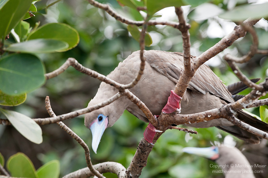Cocos Island, Costa Rica; a Red-footed Booby (Sula sula) bird looks down from it's perch on a branch, all adult Red-footed Booby (Sula sula) birds have red feet, but the plumage color varies from brown to white