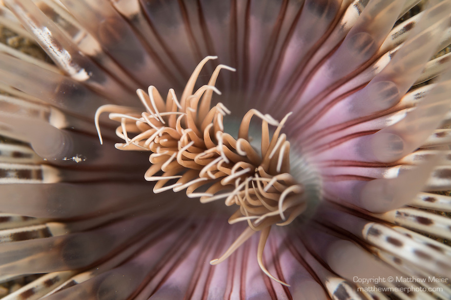 Anda, Bohol, Philippines; a detail view of a colorful tube worm