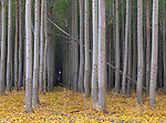 Morrow County, OR<br /> Hybrid poplar tree farm, forest understory in fall color
