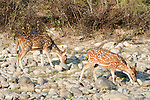 Spotted Deer or Chital, Axis axis,pair of females feeding at side of river, two, 2, Corbett National Park, Uttarakhand, Northern India.India....