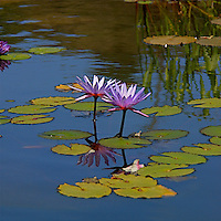 A close-up  of a two purple flowering water lilies (Nymphaea) .
