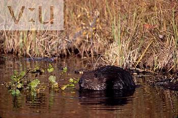 A beaver gathering food. (Castor canadensis) Alaska