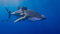 Whale Shark, Rhincodon typus, accompanied by Black Jacks, Caranx lugubris. The Boiler, San Benedicto Island, Revillagigedos Archipelago, Mexico, Pacific Ocean