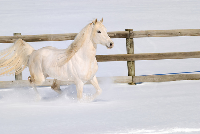 White horse running free in new fresh snow with mane and tail flying, a purebred Arabian stallion in motion at liberty, Pennsylvania, PA, USA.