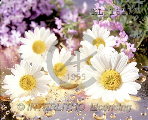 Interlitho, Alberto, FLOWERS, portrait, macro, photos, 6 marguerites, KL, KL16272,#F# Blumen, flores, retrato