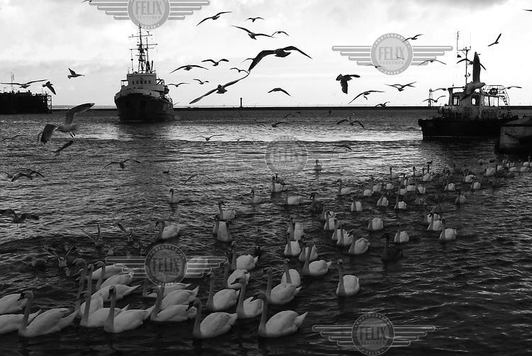 Swans swim around a group of ships that are moored in the Baltic harbour of Kaliningrad. Seagulls are flying overhead.