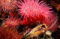Pacific Northwest underwater Anemones